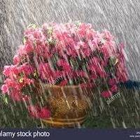 FLOWERS IN THE RAIN......(1965 - 1969) by ron anderson